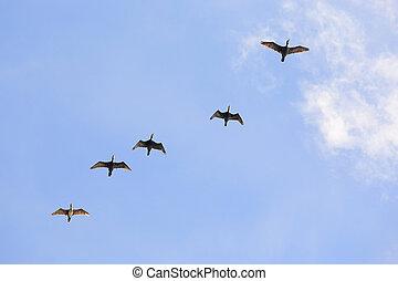 flight of cormorants flock - flock of cormorants fly over...