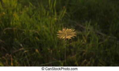 Flight of Dandelion Seed - Scenic flight of Dandelion seed...