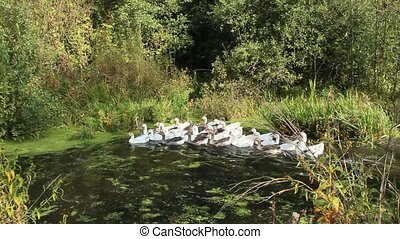 flight of domestic geese swimming on river. Domestic birds -...
