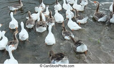 flight of domestic geese swimming on the water - flight of...