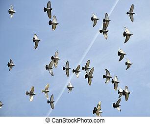 Flight of pigeons in the sky