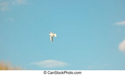 Flight of seagull, slow motion. Bird and blue sky.