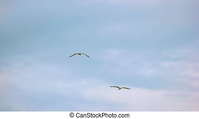Flight of seagulls in slow-mo. Birds and sky. Follow the...