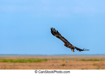 Flight of Steppe eagle or Aquila nipalensis