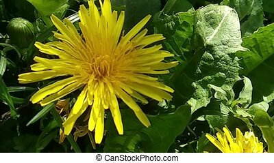 Flight of the camera over a bright yellow dandelion.