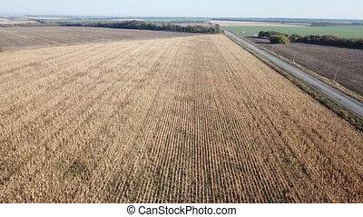 Flight of the field with ripe corn - Flight over mature corn...
