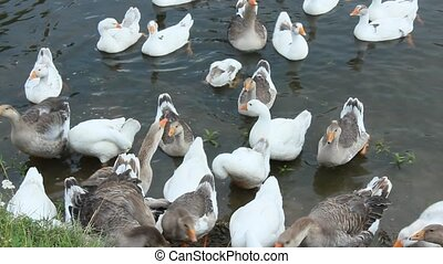 flight of white geese swimming on t