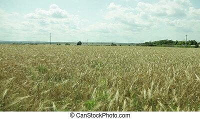 flight over a field of wheat