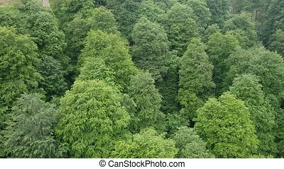 Flight over coniferous forest with thujas