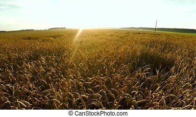 Flight over crops. Large wheat field. - Flight over crops....
