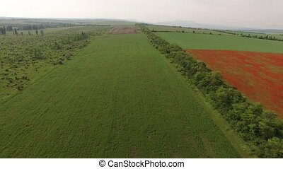 Flight over fields with red flowers, sown with a field and...