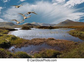 Whooper Swans fly over Rannoch Moor Scotland.