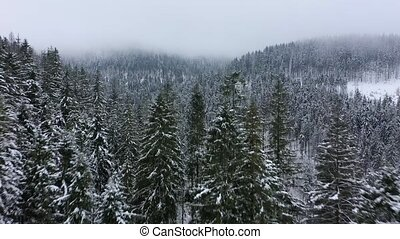 Flight over snowstorm in a snowy mountain coniferous forest....