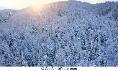 Flight over snowy mountain coniferous forest at sunset....