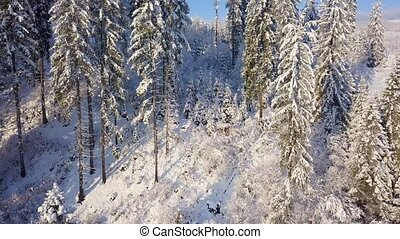 Flight over snowy mountain coniferous forest. Clear sunny...