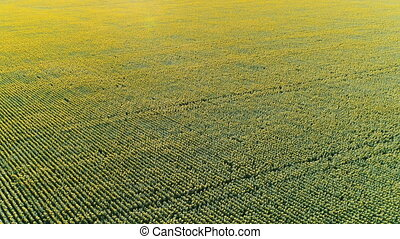 Flight over sunflower field - Flying over a field of...