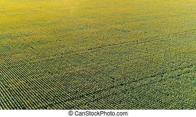 Flight over sunflower field