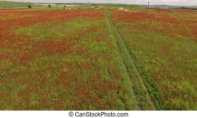 Flight over the field with flowering poppies. bird's eye ...