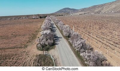 Flight over the roadside consist from the blooming almond trees with a white flowers. Way thru the spring vineyard in mountains near the sea
