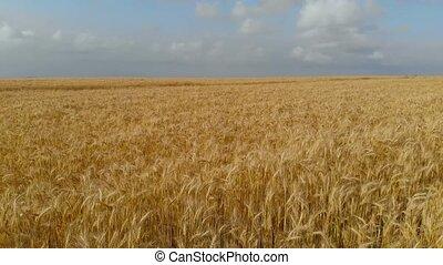 Flight over the wheat field
