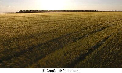 Flight over the wheat field at sunset, aerial shot