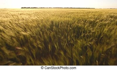 Flight over the wheat field at sunset, closeup, aerial shot