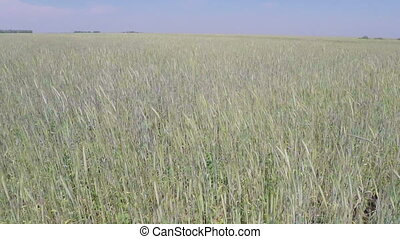 flight over wheat field - aerial view