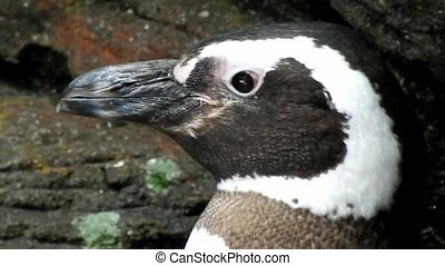 Flightless Birds And African Penguins