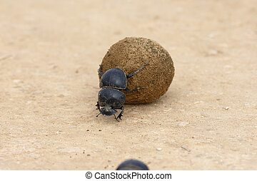 Flightless Dung Beetle, Addo Elephant National Park, Eastern...