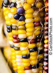 Flint corn - Multi colored indian corn made for Thanksgiving...