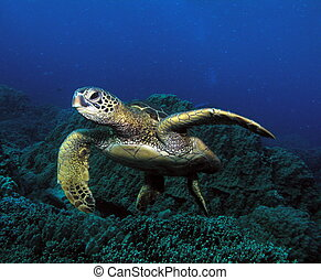 Flipper - Hawaiian green sea turtle