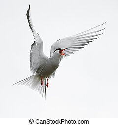 Flit Tern. - The Common Tern is a seabird of the tern family...
