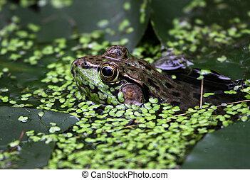 Floating Bullfrog