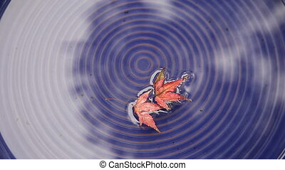 floating maple leaves - small red maple leaves afloat in...
