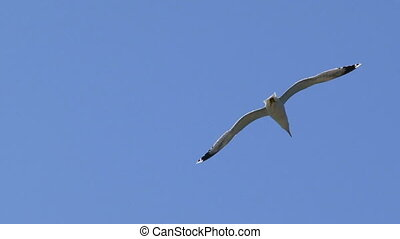 Floating seagull - Seagull soaring above the sea-shore. Two...