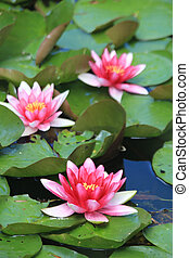 Floating water lillies - Floating pink water lillies on a...