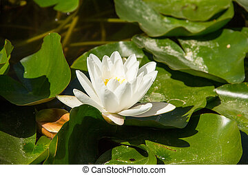Floating waterlily in pond