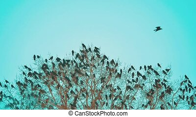 flock autumn of birds crows blue sky taking off from a tree. a flock of crows black bird dry tree . birds ravens in the sky. a flock lifestyle of crows concept
