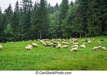flock, av, alpina får, på, den, kulle
