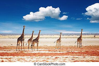 flock, av, giraffer