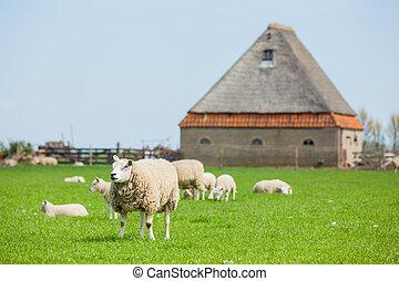 flock, av, sheep