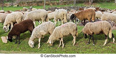 flock, av, sheep, i en ro