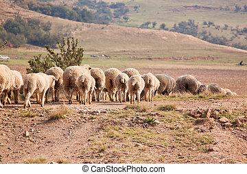 flock, av, sheep, vandrande, i en ro
