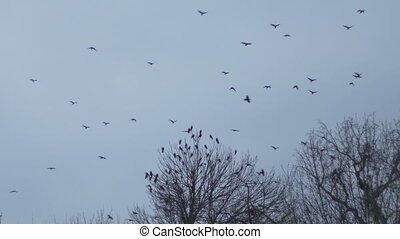 Flock Crow on Desolate Sky - A flock of crows is departing a...