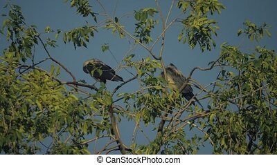 flock crows of birds ravens in the summer sits on a tree. a...