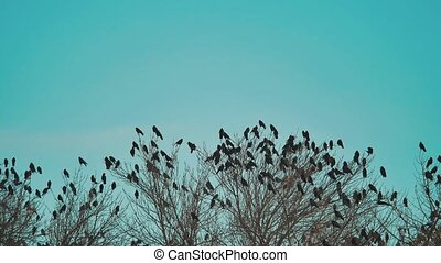 flock lifestyle of birds crows blue sky autumn taking off from a tree. a flock of crows black bird dry tree . birds ravens in the sky. a flock of crows concept