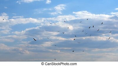 Flock of african Vultures circling , Botswana Africa...