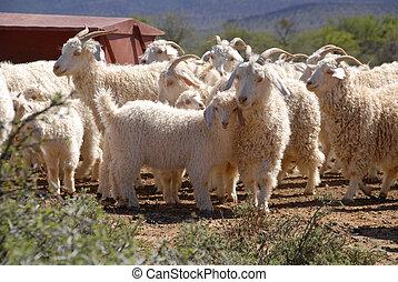 Flock of Angora goats