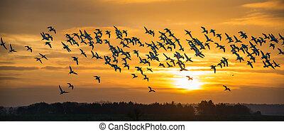 Flock of wild Avocets (Recurvirostra avosetta) seen at dawn in Norfolk UK.