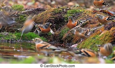 flock of beautiful birds drinking water in the autumn forest
